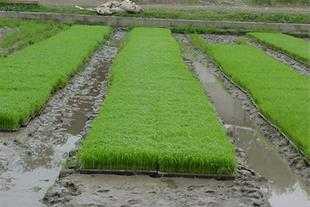 گزارش تصویری| نشاء برنج در روستاهای دودانگه ساری